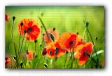 Beautiful Poppies Photo Print