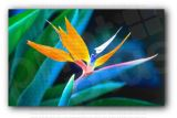 Bird of Paradise Flower Photo Print