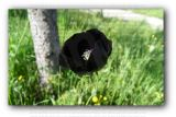Black Poppy Flower Photo Print